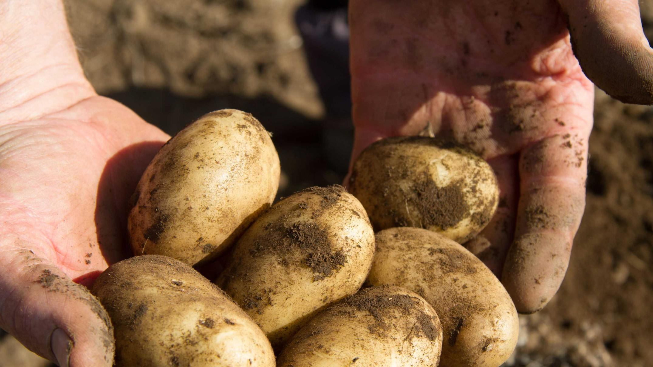 chips-are-on-the-table-in-rush-to-create-hydrogen-fuel-and-fertiliser-from-humble-potatoes