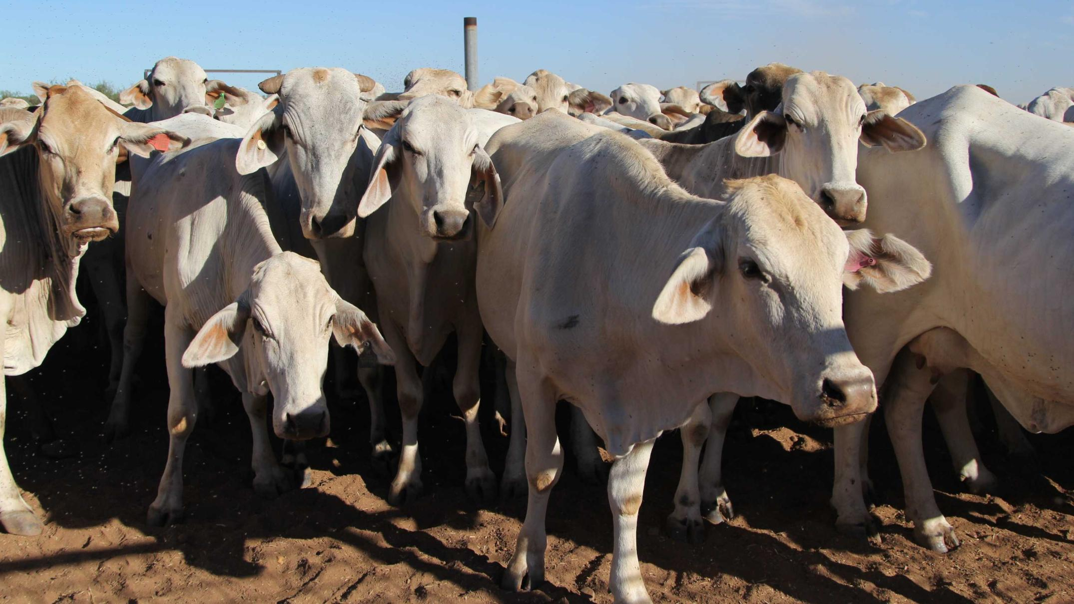cattle-and-buffalo-shot-with-arrows-and-mutilated-in-spate-of-nt-killings
