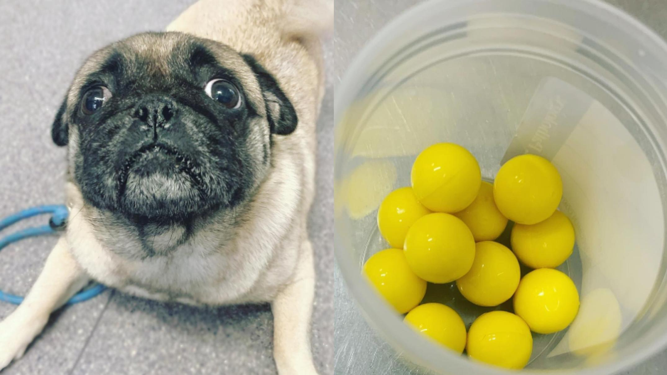 'to-my-shock-he'd-eaten-11':-hungry-pug-takes-on-hungry-hungry-hippos