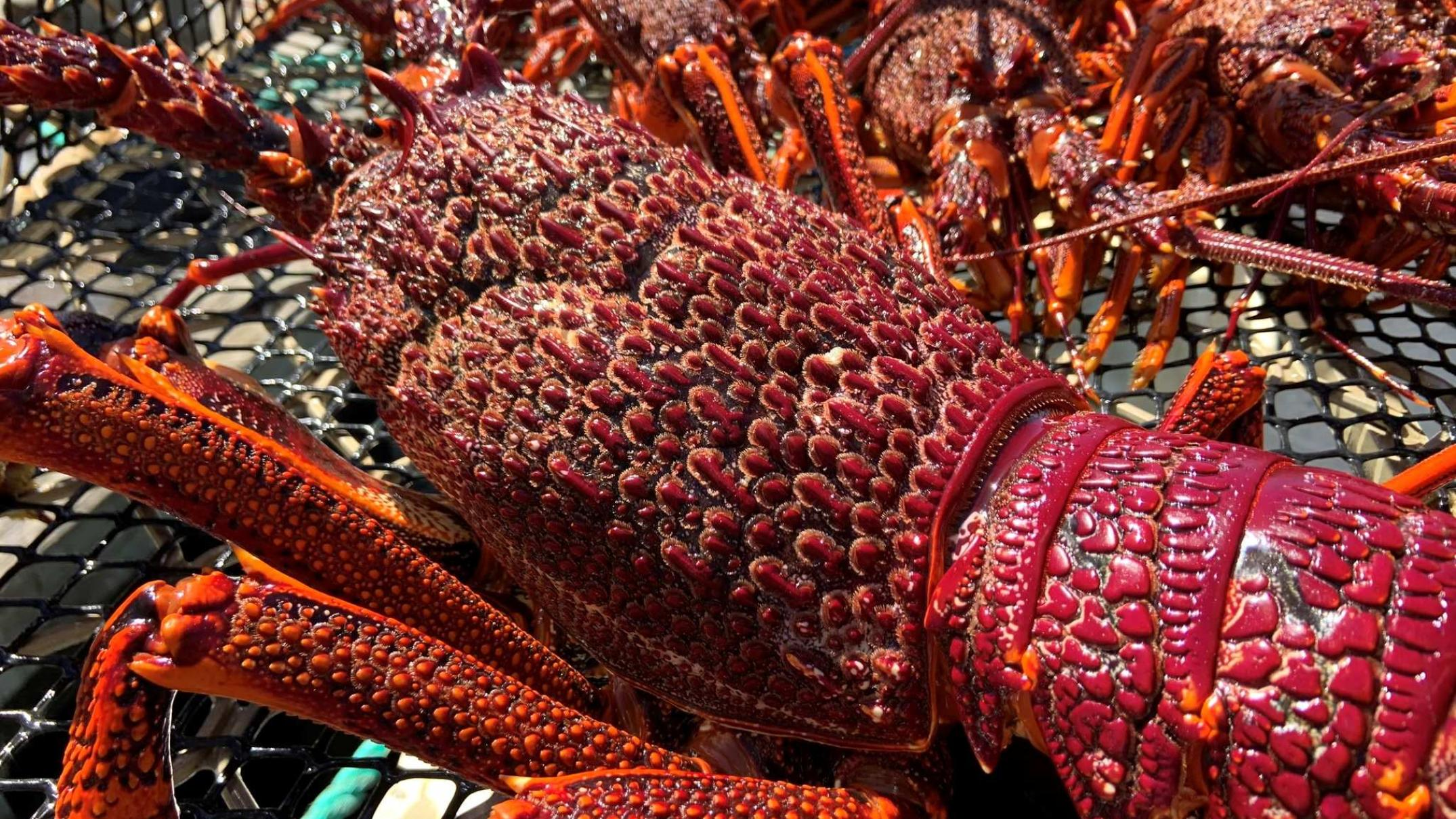 southern-rock-lobster-industry-fears-seismic-testing-in-bass-strait-could-threaten-crayfish-populations