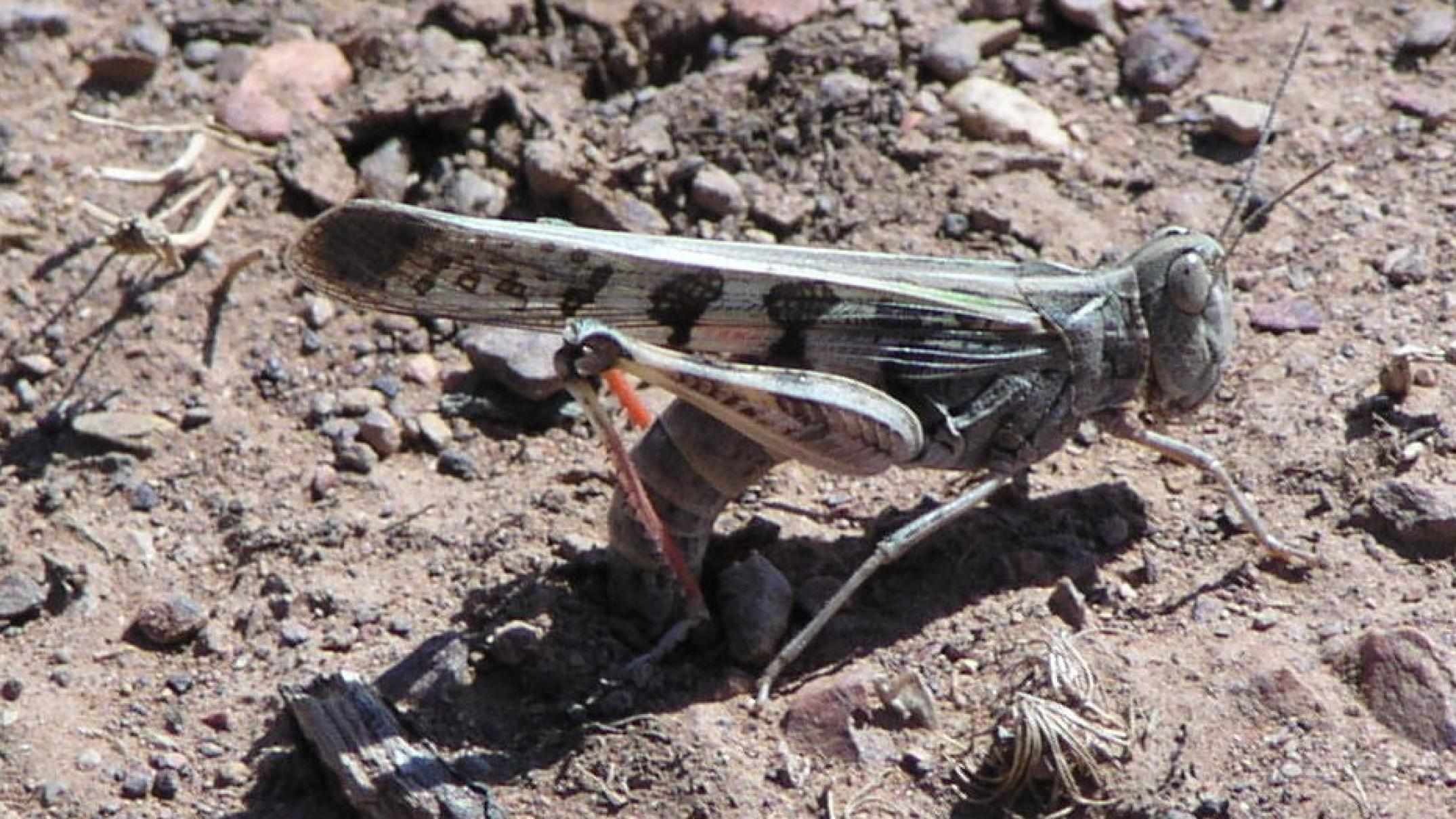 hatching-and-hungry:-locusts-descend-on-green-pastures-after-years-of-drought