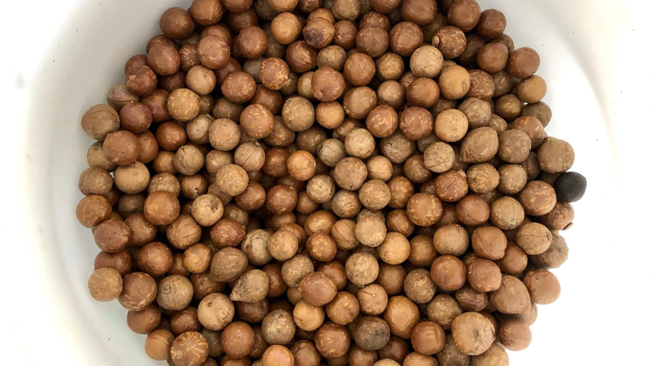 macadamias-are-tough-nuts-to-crack,-but-scientists-are-working-to-change-that