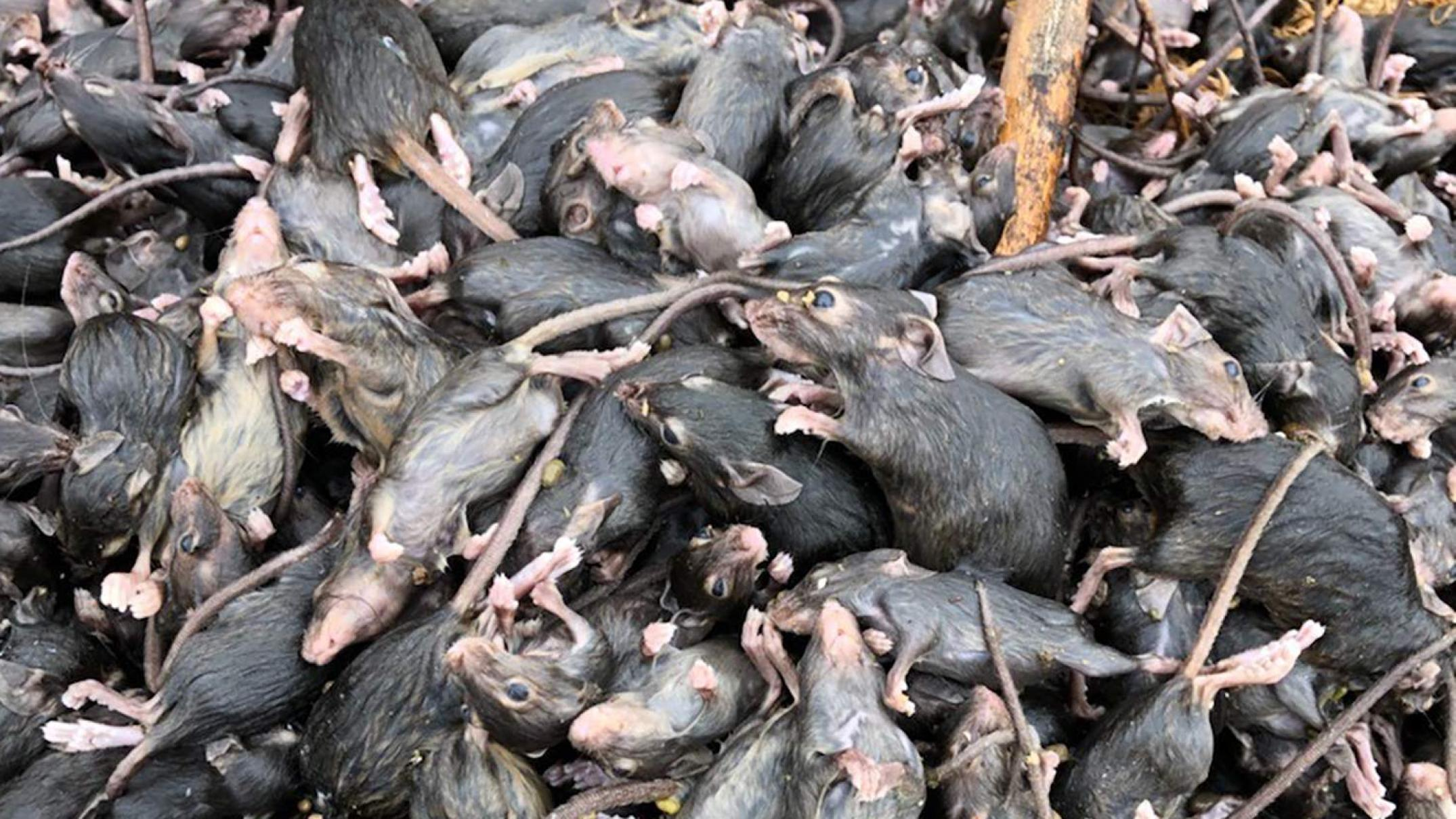'they're-having-an-absolute-field-day':-mouse-plague-extends-across-parts-of-qld,-nsw