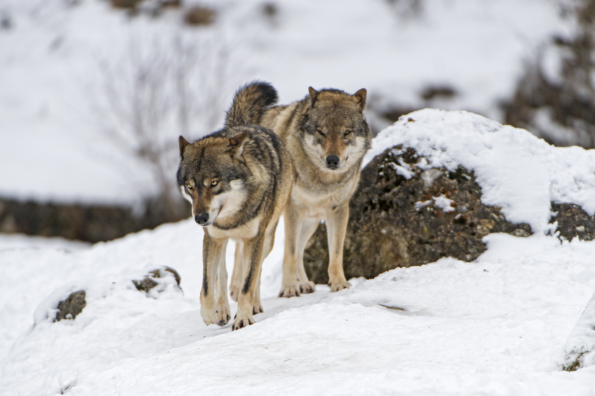 Светлогорские-рыбаки-спасались-от-волков-на-деревьях