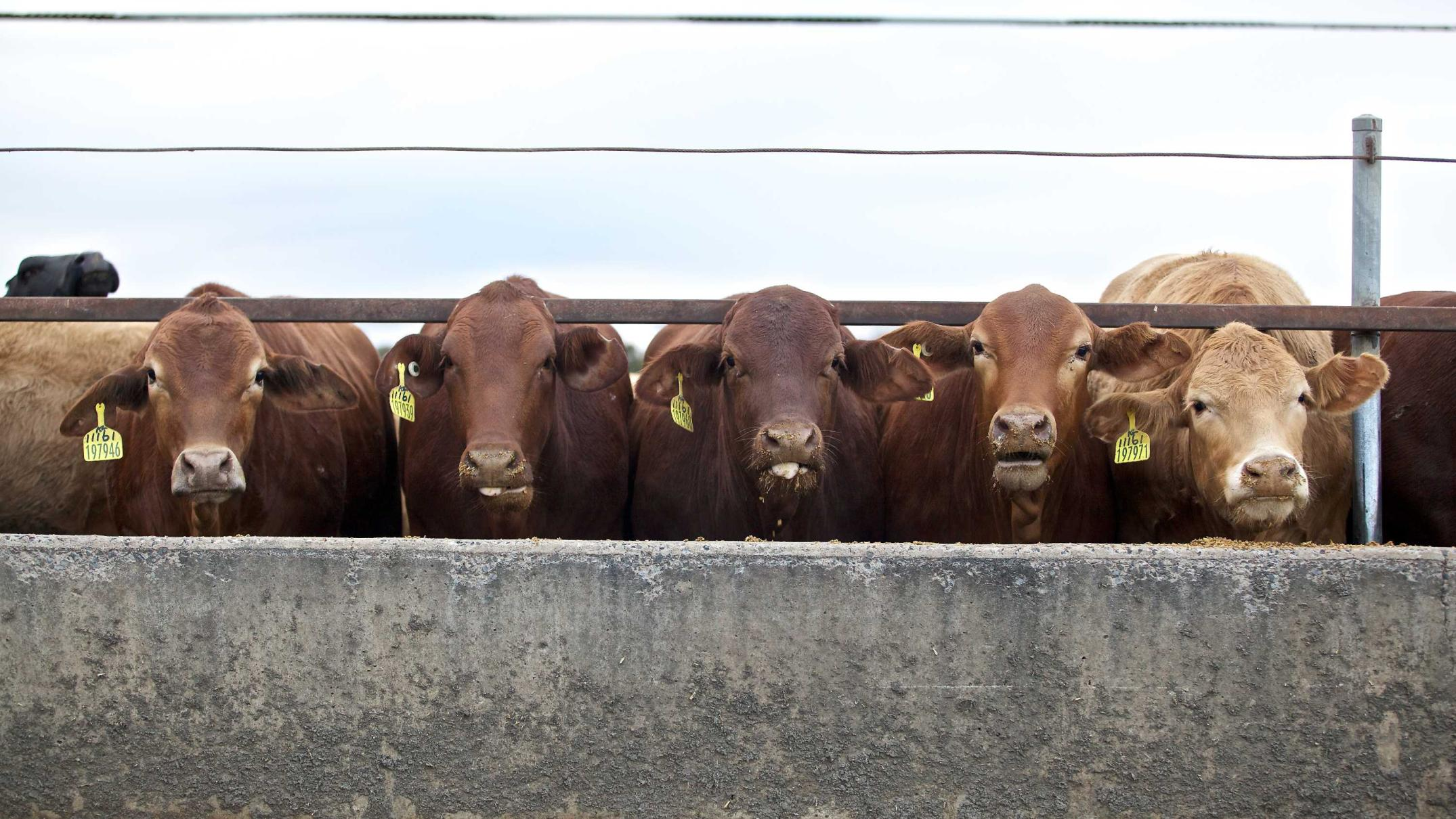 indonesia-considers-importing-mexican-cattle-as-australian-beef-prices-reach-record-highs