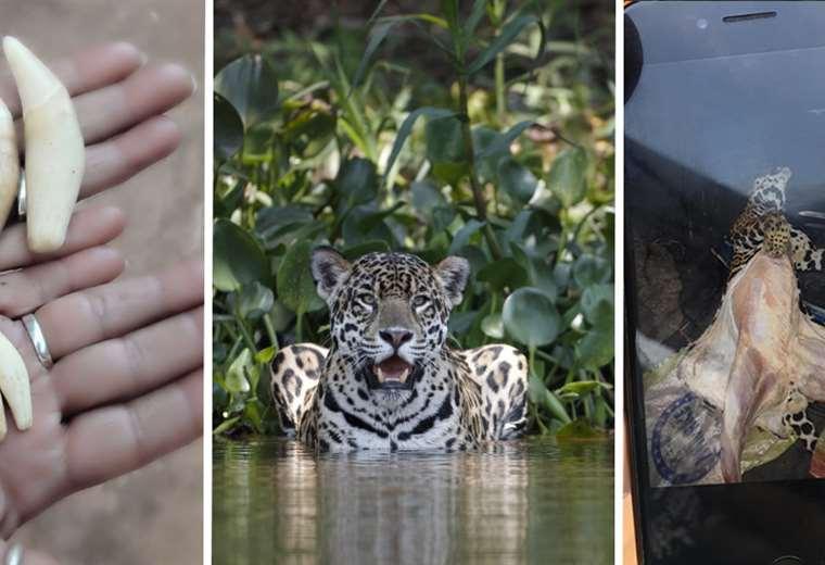 bolivia:-investigacion-revela-que-tres-grupos-criminales-internacionales-controlan-el-trafico-de-jaguares
