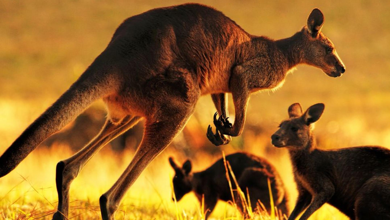 victorian-kangaroo-meat-heading-to-supermarket-shelves-under-expanded-harvest