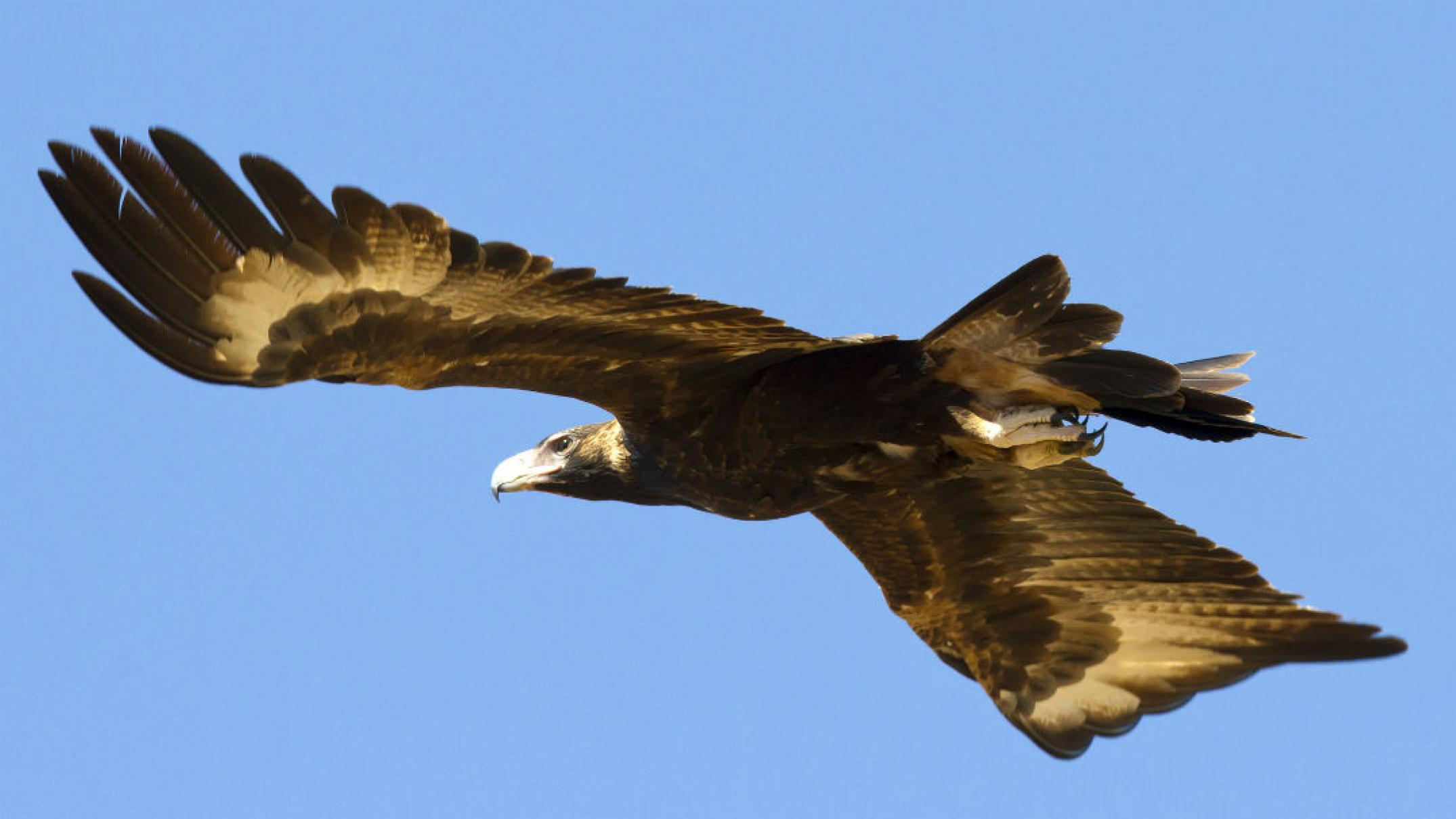 'foul-play'-suspected-in-poisoning-deaths-of-eight-wedge-tailed-eagles
