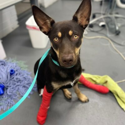 kelpie-on-road-to-recovery-after-exiting-family-car-at-110kph