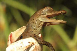 asi-es-el-nacimiento-de-un-caiman-aguja-en-cautiverio