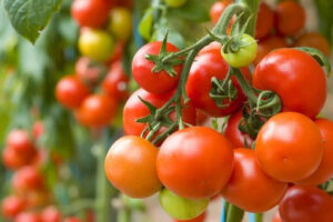 inadequate-tomato-supply-killed-pwalugu-tomato-factory
