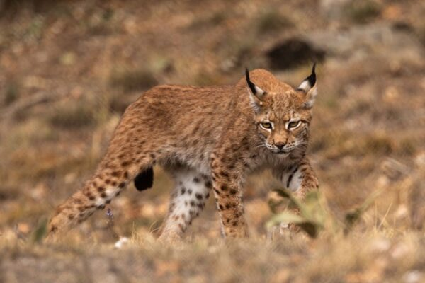 Λύγκας:-Το-εξαφανισμένο-στην-Ελλάδα-άγριο-θηλαστικό-στον-Αρκτούρο