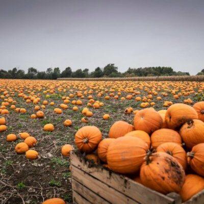 denmark-piles-up-pumpkin-production-for-scarier-halloween